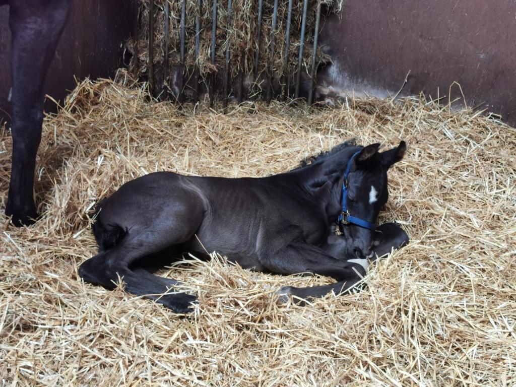 Foal lying on straw